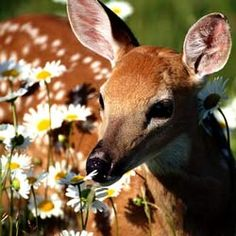 deer eating flowers