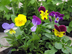 Graceful Gardens Viola