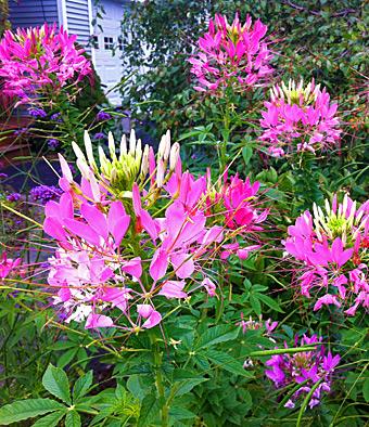 Deer resistant plants graceful gardens cleome deer resistant plant mightylinksfo