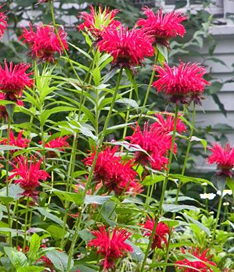 Monarda Bee Balm Deer Resistant Plant