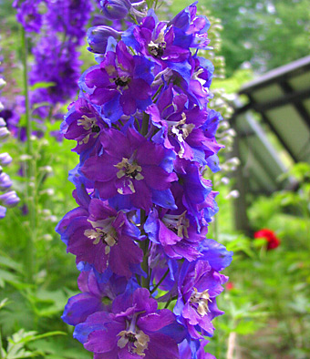 Buy Delphiniums