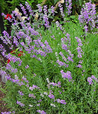 Lavender Deer Resistant