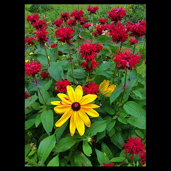 Monarda and Rudbeckia