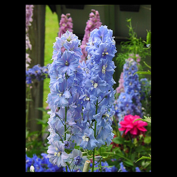 Sky Blue Delphiniums
