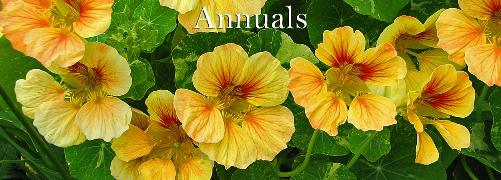 Graceful Gardens Annuals