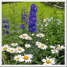 Delphiniums and Shasta Daisy