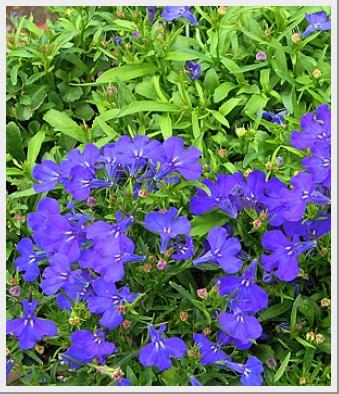 Lobelia Regatta Marine Blue