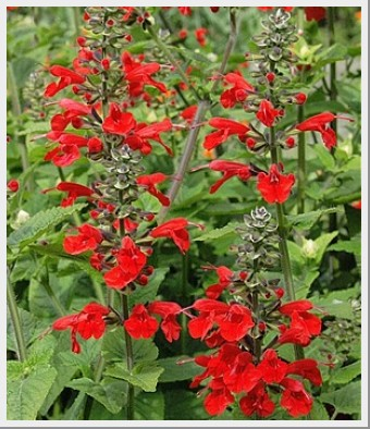 Salvia Hummingbird Lady In Red