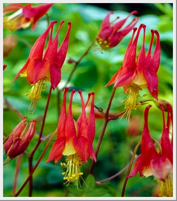 Aquilegia Little Lanterns