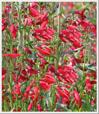 Penstemon Twizzle