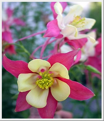 Aquilegia McKana Giant Mix
