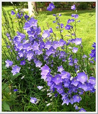Campanula Persicifolia Blue
