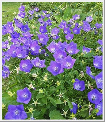 Campanula Carpatica Uniform Blue