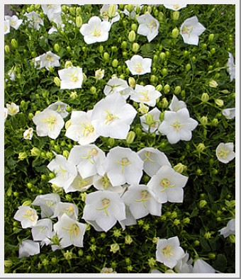 Campanula Carpatica Uniform White