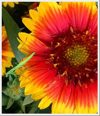 Gaillardia Mesa Bright Bicolor