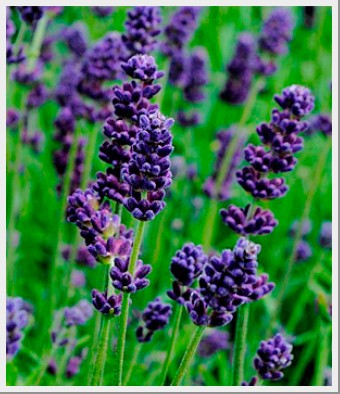 Lavender Lavance Deep Purple
