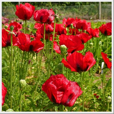 Poppy Brilliant Red