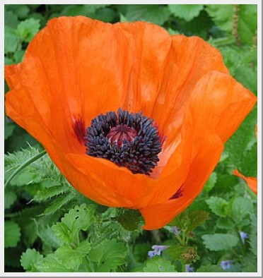 Poppy prince of orange graceful gardens poppy prince of orange mightylinksfo
