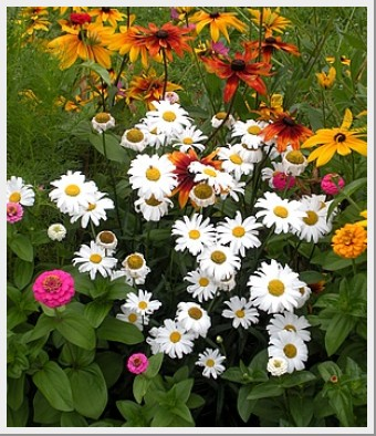 Shasta Daisy Bright Side