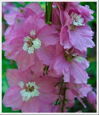 Delphinium Magic Fountain Cherry Blossom