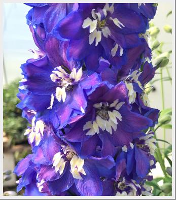 Delphinium Magic Fountain Mid Blue White Bee