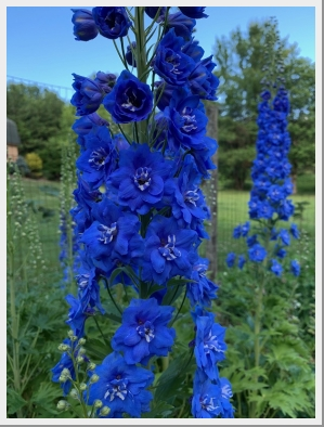 Delphinium Royal Aspirations