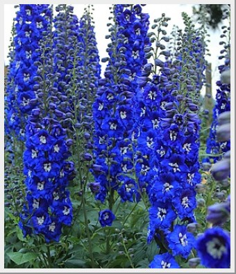 Delphiniums Colbalt Dreams