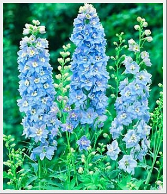 Delphinium Delphina Light Blue White Bee