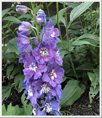 Delphinium Magic Fountain Mid Blue White Bee
