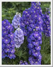 Delphinium blue Stars