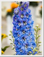 Delphinium Delphina light blue white bee