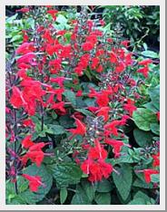 Salvia Hummingbird Lady In Red