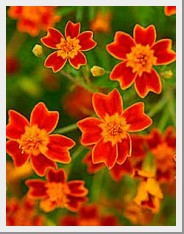 Marigold Red Gem
