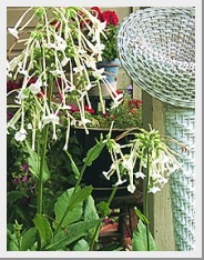Nicotiana Only the Lonely