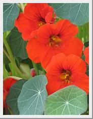 Nasturtium Princess of India