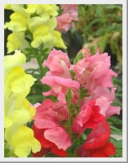 Snapdragons Rocket Mix