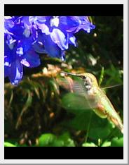 delphinium hummingbird