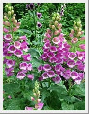 Digitalis Candy Mountain