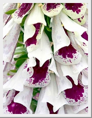 Digitalis Pam Split