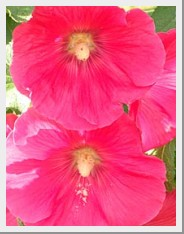 Hollyhock Country Garden Mix