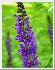 Salvia New Dimension Blue
