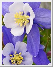 Aquilegia Blue Star