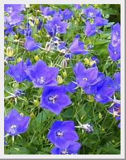 Campanula Carpatica Blue