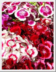 Dianthus Sweet William Hollandia