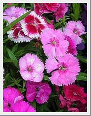 Dianthus Ideal
