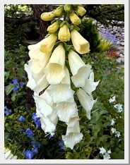 Digitalis Silver Fox
