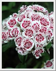 "Dianthus ""Sweet William"""