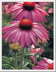 Echinacea Primadonna Deep Rose