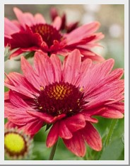 Gaillardia Arizona Sun Red Shades