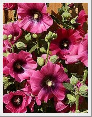 Hollyhocks Halo Cerise